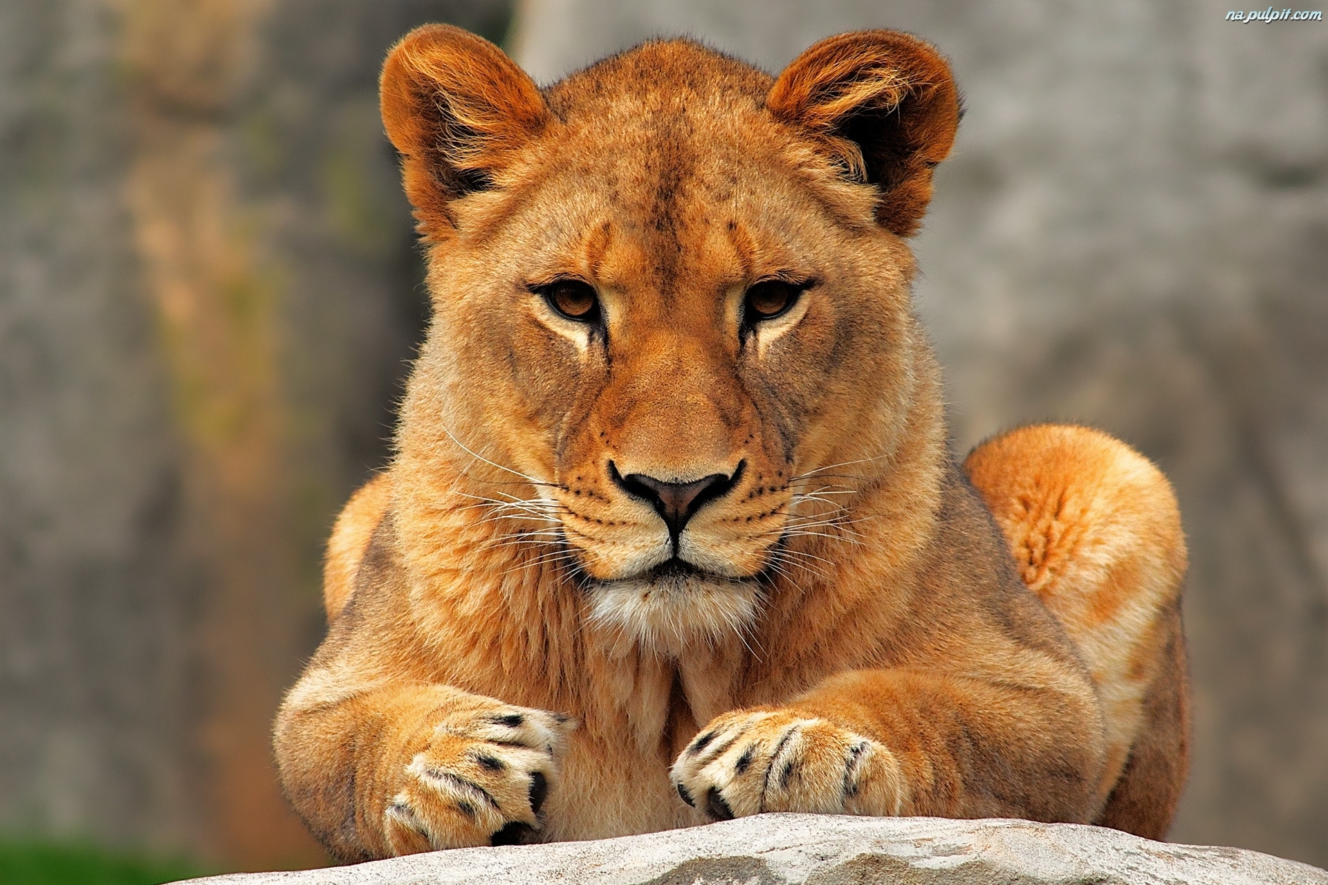 lion animal brown 1366x768 - photo #13